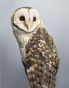 'Tani' no. 1 Masked Owl, 2014. Part of Leila's upcoming exhibition 'Prey' at Olsen Irwin Gallery. Photo – Leila Jeffreys.