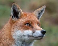 Resultado de imagen de red fox drawing