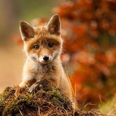 Twitter, Cute baby fox pic.twitter.com/rfVc1CvQZq
