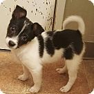 Santa Rosa, CA - Jack Russell Terrier. Meet Rex, a for adoption. http://www.adoptapet.com/pet/14777033-santa-rosa-california-jack-russell-terrier-mix