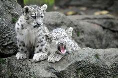 Snow leopard cub (Panthera uncia or Uncia uncia), photo taken in Zoo Jihlava, Czech Republic
