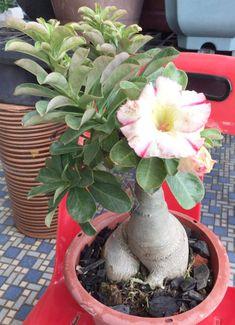 Desert Rose, Succulents, Plants, Queen, Succulent Plants, Plant, Planets