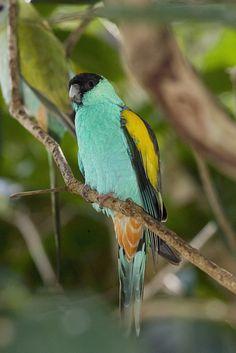 The Hooded Parrot, Psephotus dissimilis is an Australian endemic