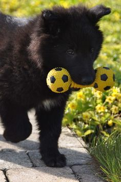 Belgian Sheepdog puppy with toy Baby Puppies, Cute Puppies, Cute Dogs, Belgian Shepherd, German Shepherd Puppies, Sheep Dog Puppy, Dog Breeds List, Malinois, Schaefer