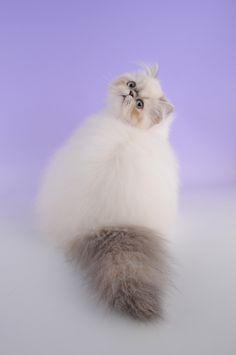 Все размеры | Гималайская кошка | на Flickr - размещение фотографий!