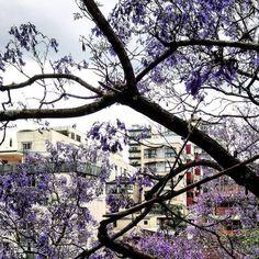 Sem palavras para descrever tanta beleza.  Que árvore é essa que bairro é esse em Porto Alegre? Quem sabe?  #CatracaPOA : @rogeriowainer