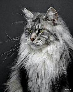 Maine coon gentle giants