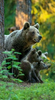 Momma Grizzly Bear and 2 cubs! Photo Ours, Photo Animaliere, Bear Pictures, Cute Animal Pictures, Nature Animals, Animals And Pets, Wild Animals, Ours Grizzly, Grizzly Bears