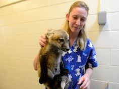 A baby fox from the Greenwood Wildlife Rehabilitation Center