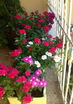 Vinca Flower ! Container Plants, Container Gardening, Gardening Tips, Flower Containers, Amazing Handwriting, Periwinkle Flowers, Flower Words, Small Balcony Design, Indoor Flowering Plants