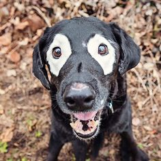 Shepherd With Vitiligo Unusual Colors And Coats In Dogs - 24 unique animals with vitiligo who look like theyre running out of ink