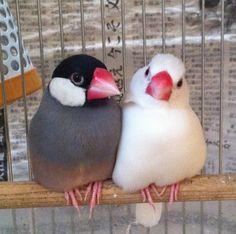 今朝の仲良し文鳥♪