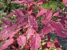 Cornus kousa Wolf Eyes, fall foliage