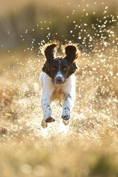 Springer Spaniel- very nice dogs to own and are very popular. I have one myself and I'll have to say that she is an awesome dog that is completely energetic.
