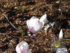Magnolia 'Sayonara' from Burncoose Nurseries Magnolias, Green Leaves, Bloom, Nursery, Garden, Flowers, Plants, Pink, Magnolia Trees
