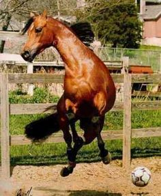 Arabian horse playing soccer. Everyone LOVES soccer!