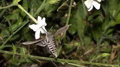Convolvulus Hawk-moth 1_Keith Baldie_high res[12]