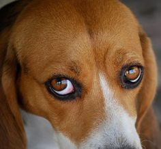 The eyes say it all..that's why beagles  rule the house...lol