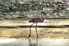 Flamingo in the late afternoon by Nauta Piscatorque on YouPic West Coast, Flamingo, Animals, Flamingo Bird, Animales, Animaux, Flamingos, Animal Memes, Greater Flamingo