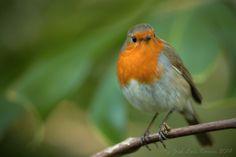 Pisco-de-peito-ruivo | Erithacus rubecula | European Robin | Flickr - Photo Sharing!