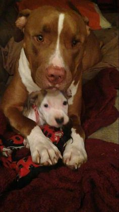 Pitbull mom and her baby