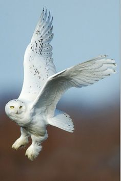 Snowy Owl on the hunt. (Male) Look at those fabulous 'snow shoe' feet