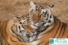 Maggie and Laney (L to R) cuddling at our New Year's Day - Big Cats Behind the Scenes Event at Suzie's Pride Big Cat Sanctuary  www.suziespride.org  #tigers   #suziespride   #bigcatsbehindthescenes   #bigcatsanctuary