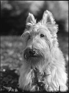 """Scottish """"Scottie"""" Terrier"""