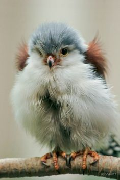 P~Pygmy falcon, or African pygmy falcon (Polihierax semitorquatus), Genus: Polihierax All Birds, Cute Birds, Pretty Birds, Little Birds, Birds Of Prey, Funny Birds, Cute Baby Animals, Animals And Pets, Beautiful Creatures