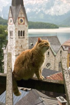 """Edelweiss, Edelweiss, you look lovely to me...."" Rodgers and Hammerstein [A cat in Austria]"