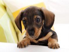 Super cute dashound