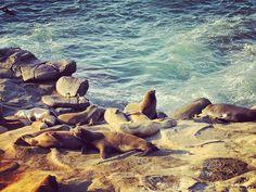 Looks like a proof of evolution.  #lajolla #lajollacove #lajollabeach #sandiego #california #nature #naturephoto #naturephotography #naturelovers #natgeo #natgeotravelpic #instagram #instalike #instagood #instanature #ocean #oceanside #seal #sealife #wildlife #animal #beachlife #transformation #evolution #lajollalocals #sandiegoconnection #sdlocals - posted by   https://www.instagram.com/youaregoddamnright_. See more post on La Jolla at http://LaJollaLocals.com