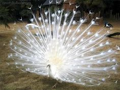 white peacock !! Wouldn't that be gorgeous at any wedding. Might take away from the bride though.