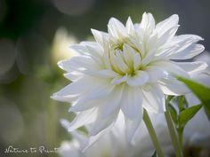 Dahlien in Topfkultur. So gelingt die Blütenpracht auf kleinstem Raum.