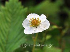 Fragaria-vesca-Αγριοφραουλι Plants, Plant, Planets