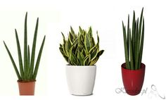 Sansewieria gwinejska House Plants, Planter Pots, Garden, Flowers, Sims 4, Garten, Indoor House Plants, Lawn And Garden, Foliage Plants