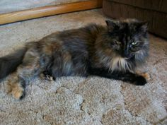 SENIOR ALERT!  Such a lovable and gentle kitty is Torti-Girl.  This tortoiseshell beauty was adopted out from us over 11 years ago.  She was brought back due to some of her owners health issues and she is now looking for her true furever home.  Torti-girl is a bit...