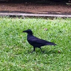 Indian Jungle crow Hawk Feathers, Crow, Birds, Indian, Animals, Raven, Animales, Animaux, Crows