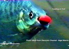 seed dispersal fish - Pesquisa Google
