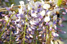 Need help with your plant selection for this year? Browse my landscape plant pictures. Wisteria is shown here. See more pictures of plants in my photo gallery: http://landscaping.about.com/od/galleryoflandscapephotos/ig/Plant-Pictures/