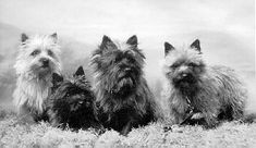 History of the Cairn Terrier from Cairn Terrier Club of America