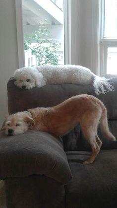 Dog stacking #cute #bichon