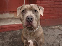 SAFE --- URGENT - Brooklyn Center    MAC - A0990418   NEUTERED MALE, GR BRINDLE, PIT BULL MIX, 4 yrs  OWNER SUR - EVALUATE, NO HOLD Reason PERS PROB   Intake condition NONE Intake Date 01/26/2014, From NY 11377, DueOut Date 01/26/2014 https://www.facebook.com/photo.php?fbid=748422118504003&set=a.748422078504007.1073742907.152876678058553&type=3&theater