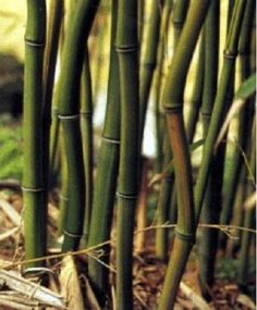 Box of 5 Phyllostachys Aureosulcata Alata Green Crookstem Live Bamboo Plants ** Check out this great product.