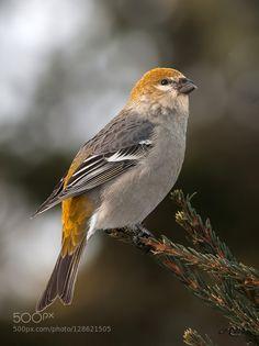 Pine Grosbeak by bormic #animals #pets #fadighanemmd