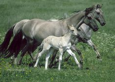 Sorraia horse - Google Search. Love the color of these pony's