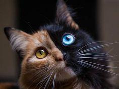 Certains chats possèdent des pelages originaux, mais plus rarement comme celui de Quimera.