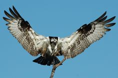 Osprey landing on branch, by Bill Munro Osprey Bird, Bird Breeds, Great Comebacks, Bird Poster, Birds Of Prey, Stuffed Animal Patterns, Raptors, Bird Feathers, Wildlife