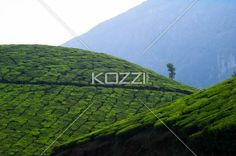 tea fields with mountain - Tea fields with a mountain in the background in Kodanad, India.