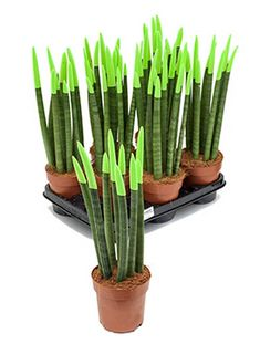 Sansevieria velvet touch 45 cm wurden die Spitzen in Farbe eingetaucht Sansevieria Plant, Blue Succulents, Shops, Ube, Petunias, Celery, Vegetables, Gardening, Flowers